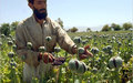 UN report predicts rise in opium cultivation in Afghanistan this year