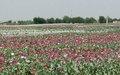UNODC predicts stable opium crop in Afghanistan