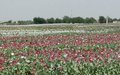 UNODC Study Paints Mixed Picture On Poppy Cultivation